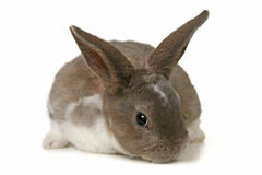 Adorable Bunny on White Background Royalty Free Stock Photography