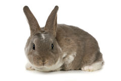 Adorable Bunny on White Background Royalty Free Stock Images