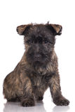Adorable cairn terrier puppy Royalty Free Stock Images