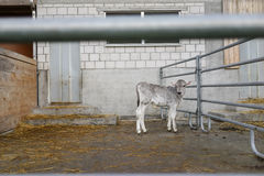 Adorable calf in a large cow farm royalty free stock image