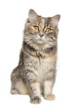 Calico Cat Royalty Free Stock Photos