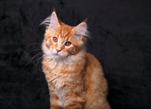 Adorable calm red solid maine coon kitten with beautiful brushes Stock Photos