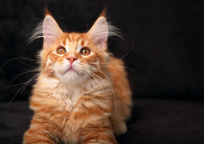 Adorable calm red solid maine coon kitten with beautiful brushes Royalty Free Stock Images