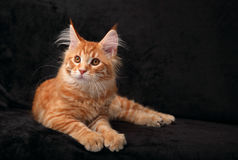 Adorable calm red solid maine coon kitten lying with beautiful b Stock Photography