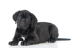 Adorable cane corso puppy Stock Image