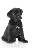 Adorable cane corso puppy Royalty Free Stock Image