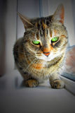 Adorable cat. An adorable green eyed cat sitting on a window sill Royalty Free Stock Photo