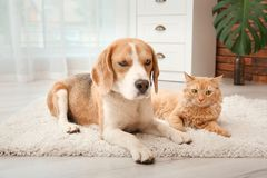 Adorable cat and dog lying on rug at home. Animal friendship stock image