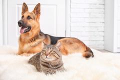 Adorable cat and dog resting together. On fuzzy rug indoors. Animal friendship stock photo