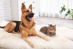 Adorable cat and dog resting together on fuzzy rug. Indoors. Animal friendship royalty free stock photos