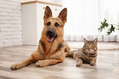 Adorable cat and dog resting together at home. Animal friendship stock photography