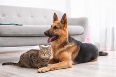 Adorable cat and dog resting together near sofa indoors royalty free stock photography