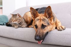 Adorable cat and dog resting together on sofa indoors. Animal friendship royalty free stock photo