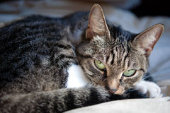 Adorable Cat with Green Eyes Royalty Free Stock Images