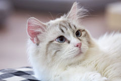 Adorable cat have a blue eyes Stock Photo