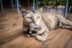 Adorable cat is laying in wooden floor. stock image