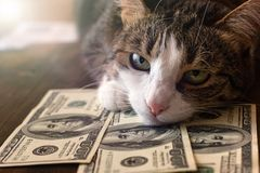 Adorable cat is lying on dollar bills stock photography