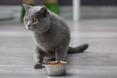 Adorable cat near bowl with food at home royalty free stock photos