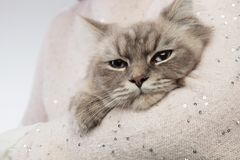 Adorable cat resting in the arms of a person Stock Image