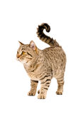 Adorable cat Scottish Straight Stock Photography
