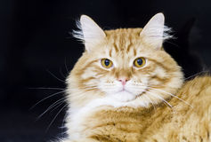Adorable cat of siberian breed, red version. Great cat of siberian breed, red with white royalty free stock images