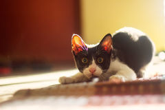 Adorable Cat. Waiting to strike Royalty Free Stock Images