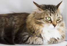 Adorable cats, brown version of siberian breed on a chair Stock Photo