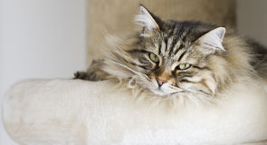 Adorable cats, brown version of siberian breed on the scratching Royalty Free Stock Images