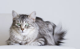 Adorable cats, silver version of siberian breed on a white sofa Royalty Free Stock Photos