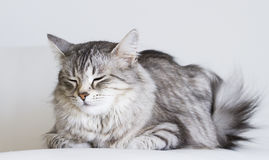 Adorable cats, silver version of siberian breed on a white sofa Royalty Free Stock Photo
