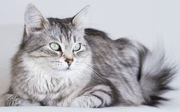 Adorable cats, silver version of siberian breed on a white sofa Stock Photo