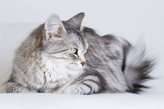 Adorable cats, silver version of siberian breed on a white sofa Stock Images