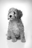 Adorable cavapoo Royalty Free Stock Photos