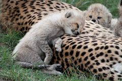 Adorable Cheetah Cub Resting. Cute littele cheetah cub resting on it's mothers back Stock Photo