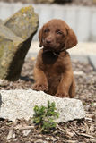 Chesapeake Bay Retriever puppy on stone Stock Images