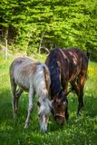 Adorable chestnut halfing foal grazing with brown Czech warmblood on the green meadow in the forest.  royalty free stock image