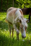 Adorable chestnut halfing foal grazing on the green meadow in the forest stock images