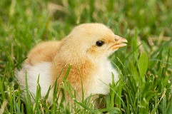 Adorable chick stock photography