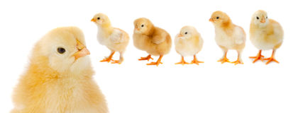 Adorable chicks Stock Photography