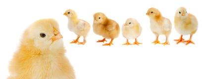 Adorable chicks stock photography