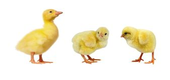 Adorable chicks isolated on white background stock image