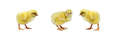 Adorable chicks isolated on white background. Farm Royalty Free Stock Photography