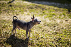 Adorable chihuahua barking in the garden Royalty Free Stock Image