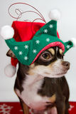 Adorable elf chihuahua. Royalty Free Stock Photos