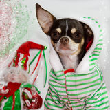 Adorable chihuahua. Stock Photos