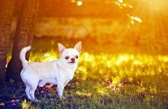 Adorable chihuahua Royalty Free Stock Image
