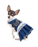 Adorable Chihuahua Dog in Blue Dress With White Lace Stock Images
