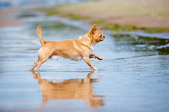 Adorable chihuahua dog running on the beach Royalty Free Stock Photos