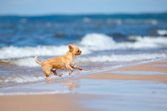 Adorable chihuahua dog running on the beach Royalty Free Stock Image