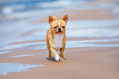 Adorable chihuahua dog walking on the beach Stock Photos
